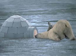 Polar Bear vrs. Igoloo